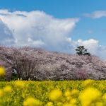 権現堂の桜撮影(20/3/24)